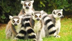 lemuri r