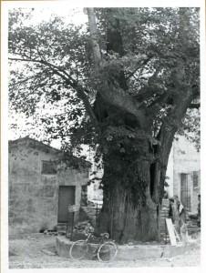 Il famoso tiglio di Moruzzo (Anni '50)