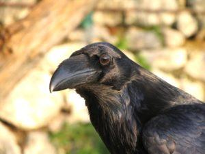 corvo-imperiale-fulvio-genero-copiright