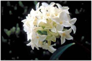 tramonti-sopra-daphne-blagayana-rododendri-blanc